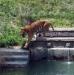 Тигр в природном парке Турин Италия