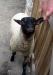 Природные парки Италии овца