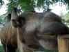 Верблюд в биопарке Италия