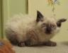Породистые кошки италии