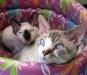 Породисты кошки Италии