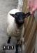 Zoom Cumiana Torino овца