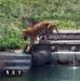 Биопарк  Италия Турин Кумиана тигр