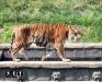 Биопарк  Италия Турин Кумиана тигры