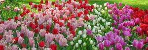 Тюльпаны Турин Италия