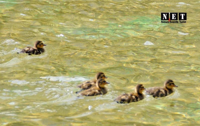 Семья уток в одном из фонтанов Турина