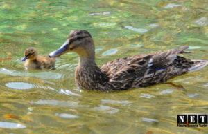Семья уток поселилась в фонтане Турина смотреть фото и видео