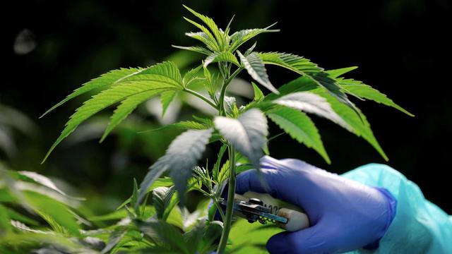 Легализация марихуаны в Италии - Турин первый город