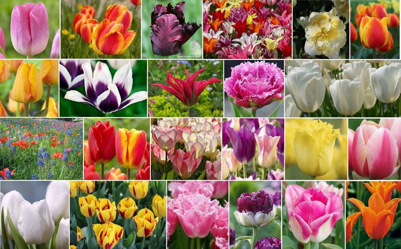Фестиваль тюльпанов в Италии Турине Пьемонте Турин в апреле 2016 предлагает посетить интересные мероприятия