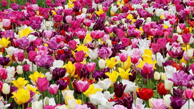 6 лучших фестивалей цветов Пьемонте близ Турина