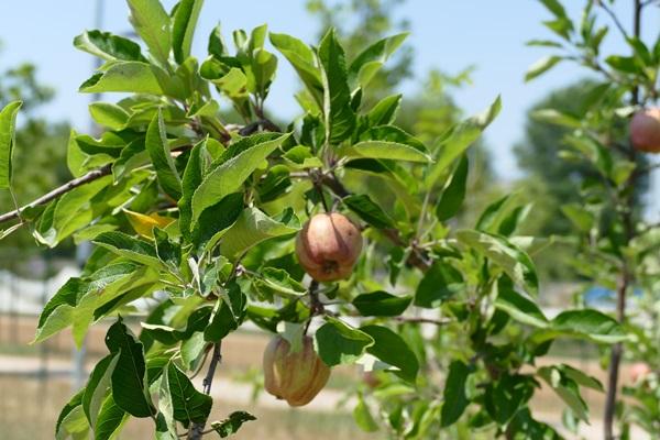 Новый парк в Турине яблочные деревья