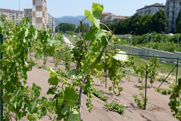 Новый парк в Турине виноградник