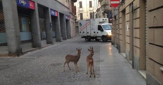Мэр города Казале сфотографировал 2 косули проходящих через центр города