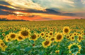 Поля подсолнухов в Италии шоу теплых и золотых цветов лета в Пьемонте