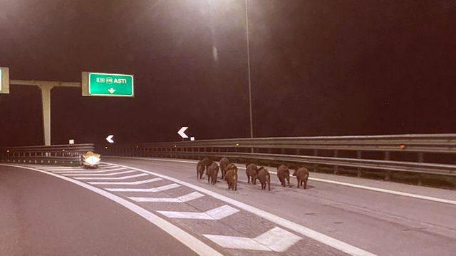 Семейство кабанов на автостраде возле Турина