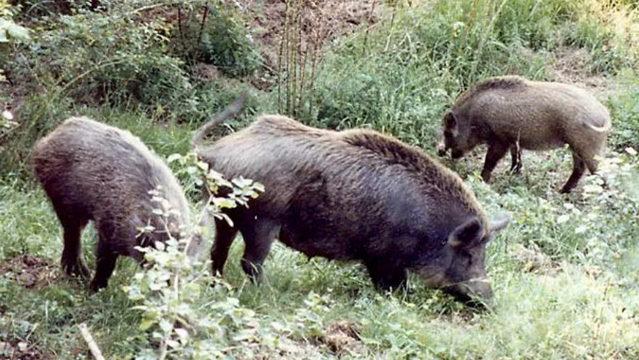 Пандемия в Пьемонте вызвала рост популяции кабанов
